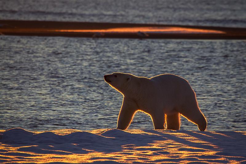 Alaska Polar Bear Photo Workshop-5.jpg