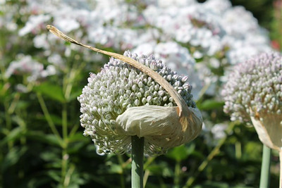 Allium ampeloprasum .jpg