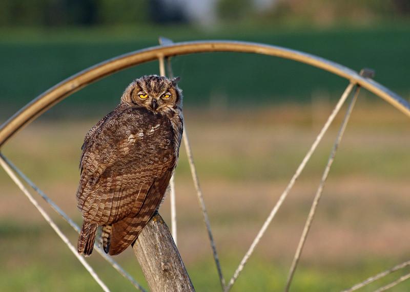 Great-horned Owl, Polson, Montana