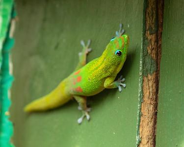 Gold Dust Gecko