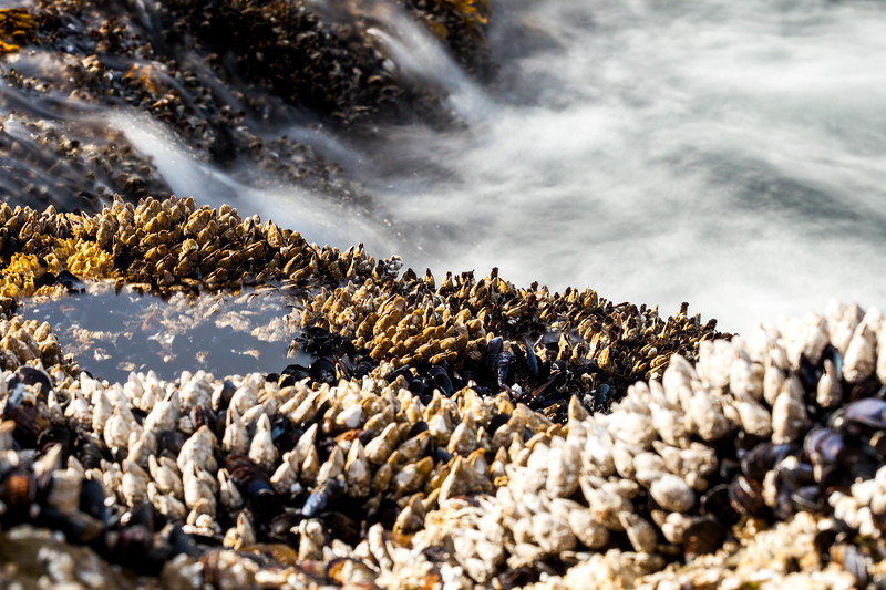 Goose barnacles (Pollicipes polymerus) Vancouver Island, British Columbia