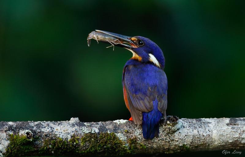 Azure Kingfisher 5.jpg