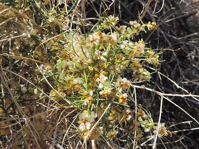 Cheesebush (Ambrosia salsola)