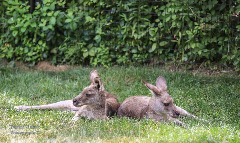2016-07-17 Fort Wayne Zoo 864LR.jpg