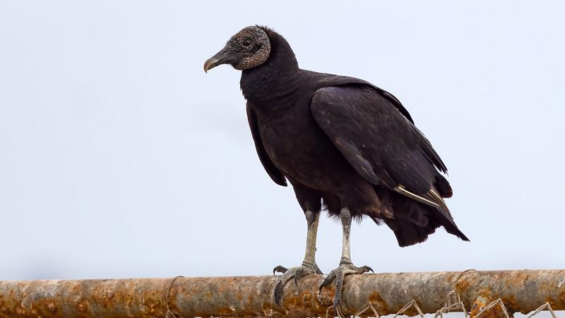 Black Vulture @Brownsville Landfill