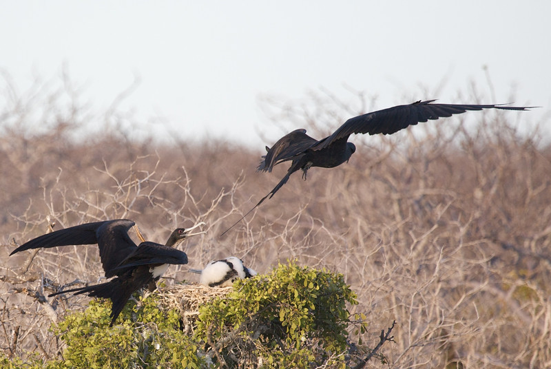 Frigate birds chase intruder from nest