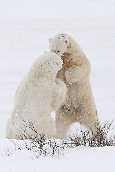 #539  Two juvenile male polar bears tussle