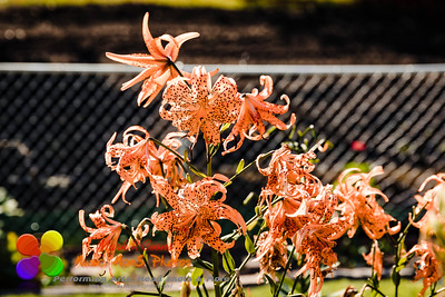 the last of the Double Tiger Lily blooms and still looking good