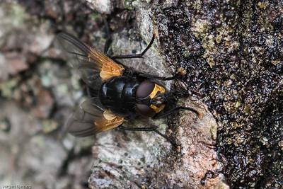 House Flies ~ Egentlige Fluer