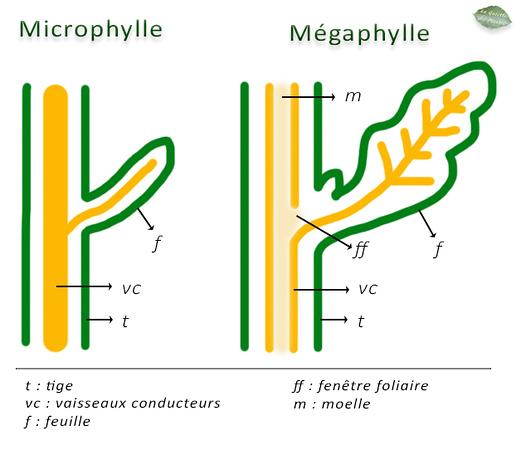 microphylles.jpg