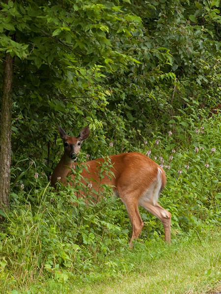 clip-015-deer-wdsm-05jul10-cvr-5420.jpg