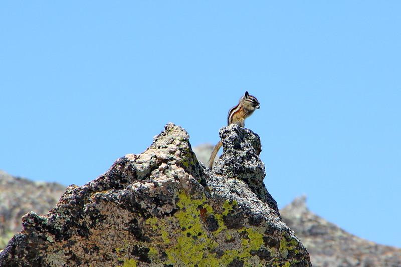 Least Chipmunk in alpine tundra ~ 12,000'