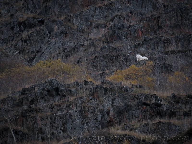 A mountain goat (Oreamnos americanus) haunts the cliffs of Langille Mountain. Cooper Landing, AK