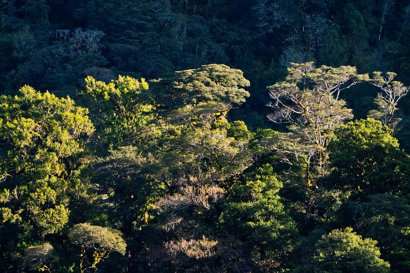 Beech Trees in Fiordland National Park