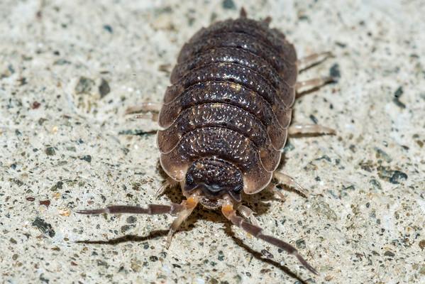 Isopods (Isopoda)