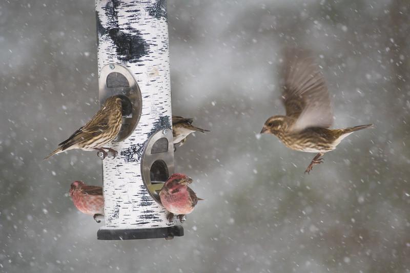 Purple Finch at thistle feeder Skogstjarna Carlton County MN-2-3.jpg