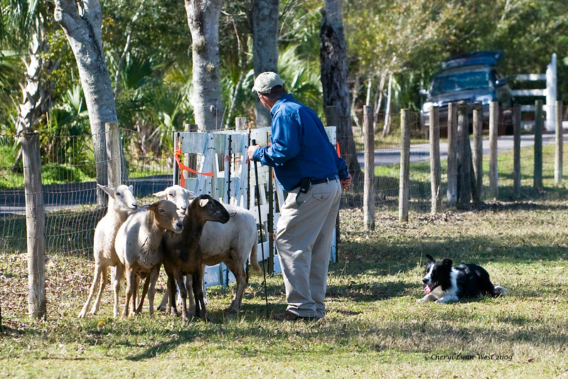 #504 - Justamere's Michael, a Border Collie dog, competed on the HRD II course.  Mike is owned by Marie & Ed (handler) Wilson.