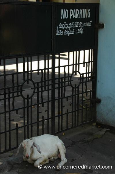 Goat Parking Allowed? - Kochi, India