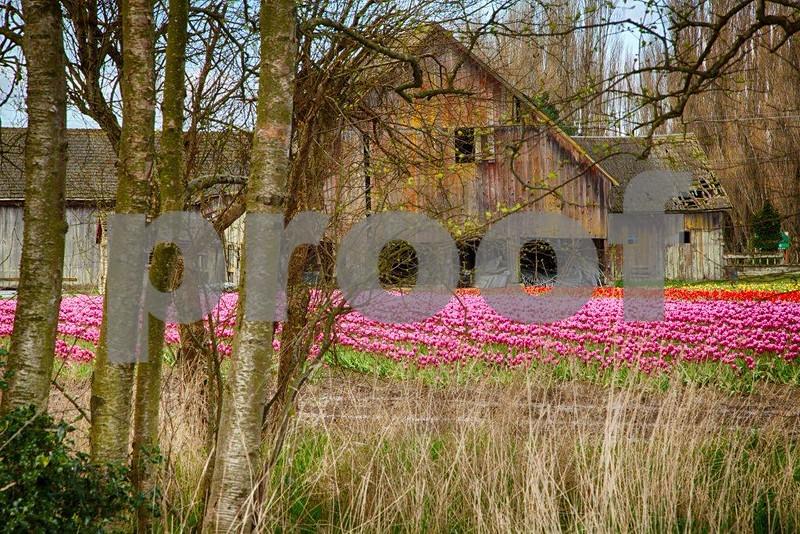 Tulips, Skagit 3513_HDR.jpg