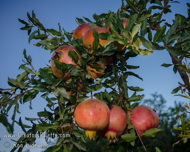 Eversweet Pomegranate (Punica granatum cv. Armchat)