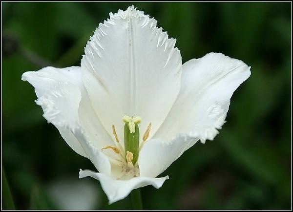Frilly White Tulip
