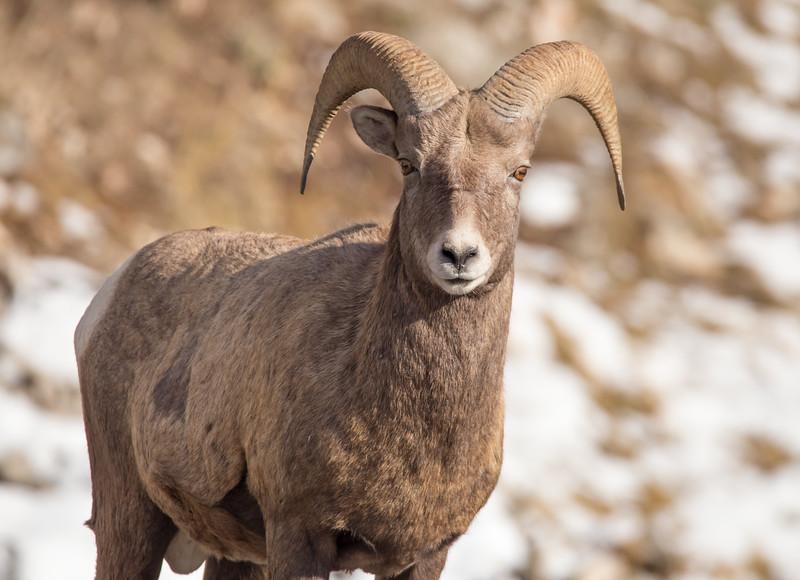 BIghorn Sheep - Eyes on You. 4437