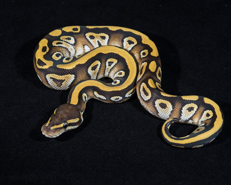 Mojave Het Ghost, M0214, sold Kayla