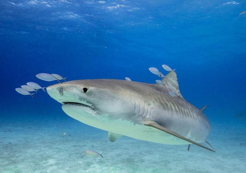 Tiger Shark-8250061.jpg