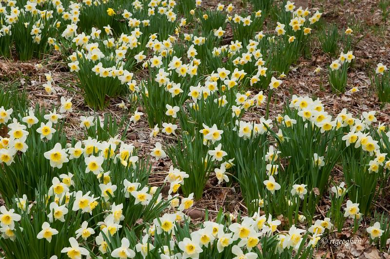 April 8 _ Daffodil Garden_1075.jpg