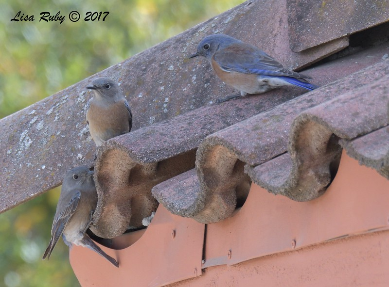 Western Bluebirds  - 12/22/2017 - South Creek Park, Sabre Springs