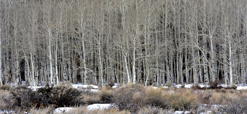 Aspens, Basking in their Winter Splendor