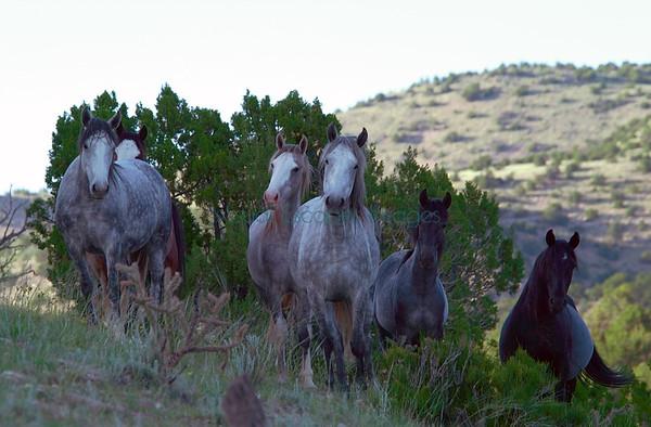 Wild Horses - American Mustangs