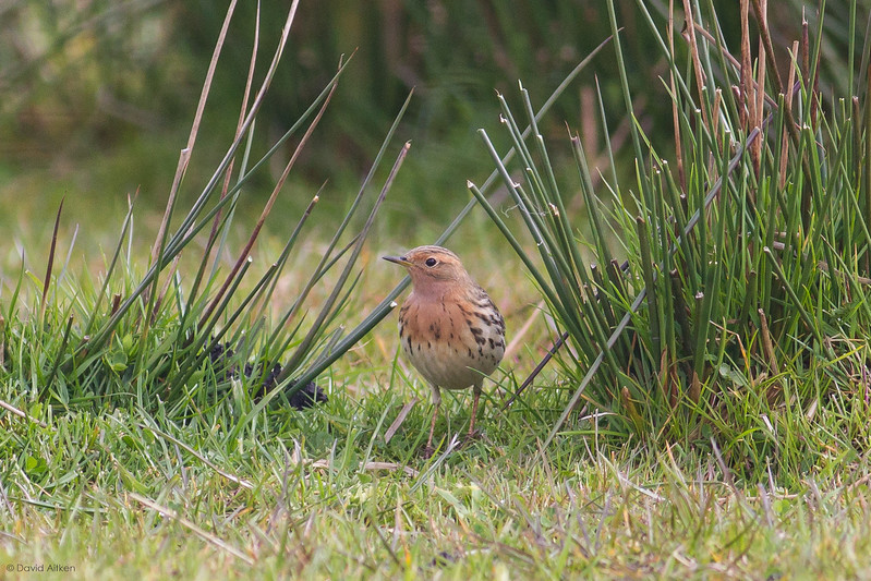 Red-throated Pipit - Ludworth Moor, Derbyshire 04/05/15
