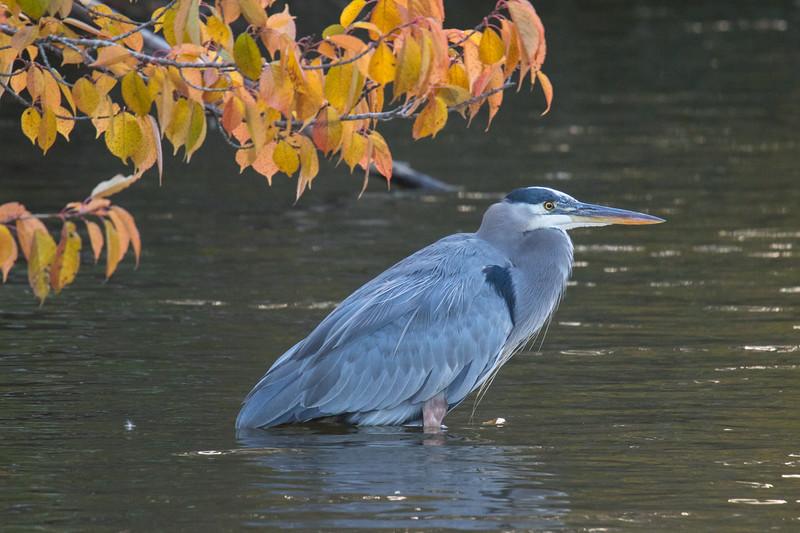 Great Blue Heron Fall 2019-2.jpg