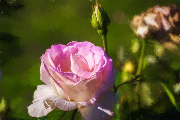 May 11 - Life cycle of a rose.jpg