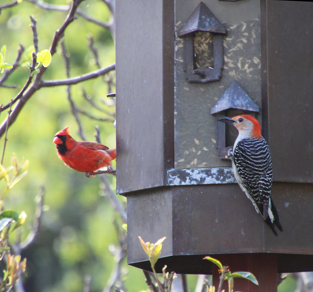 Red-bellied woodpecker and cardinal