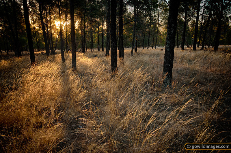 Sunset through White Cyprus pines near Mt Terrick Terrick camp ground, Terrick Terrick NP