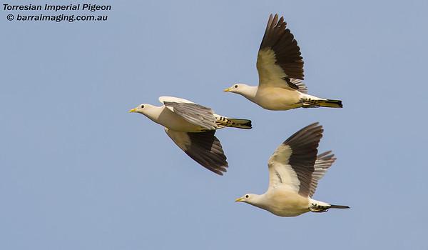 Torresian Imperial Pigeon Ducula spilorrhoa