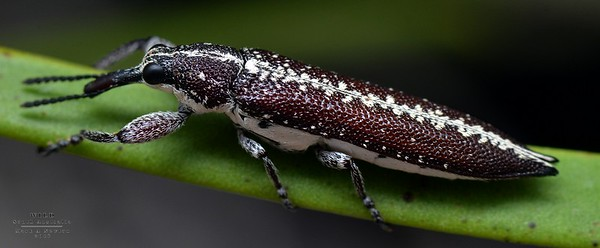Rhinotia cf. anguinea (Belinae)
