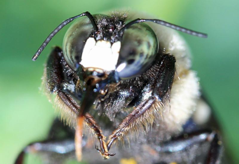 Bumble bee 31