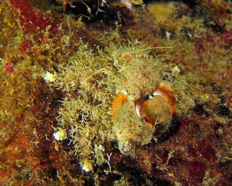 Golf-ball Crab or Rhinoceros Crab -  Rhinolithodes wosnessenskii, taken at Sund Rock