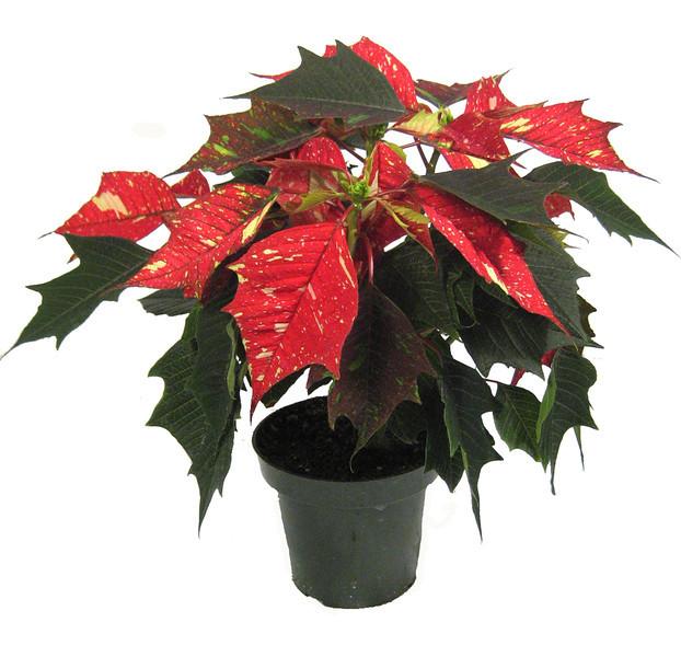 4 in Jingle Bells Poinsettia-1076803671-O.jpg