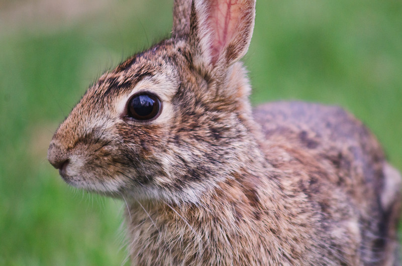 Rabbit Portrait.jpg