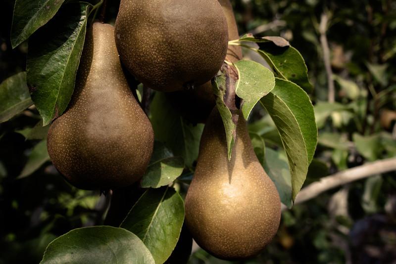 bosc pears on vine.jpg