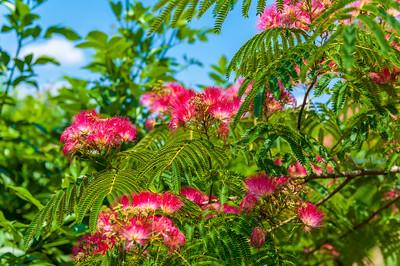 Albizia julibrissin 'E.H. Wilson'  (E.H. Wilson Mimosa)