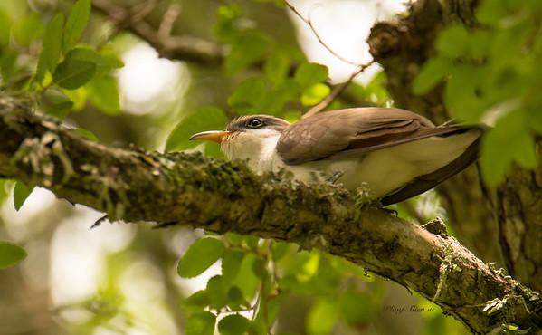 Yellow-billed Cuckoo 2_DWL2382.jpg