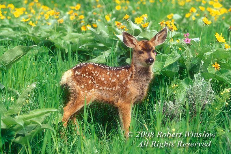 Deer - Mule Deer Fawns