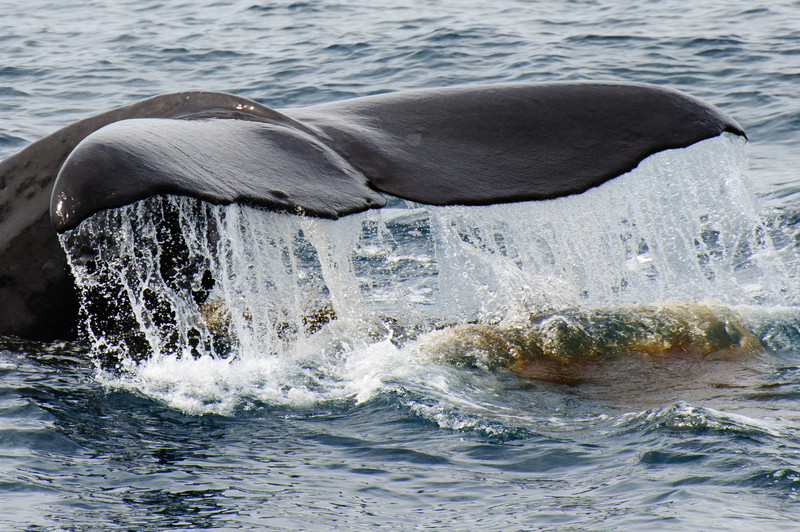 Kaikoura - sperm whale