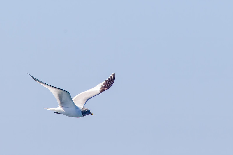 Sabine's Gull - Half Moon Bay, CA, US