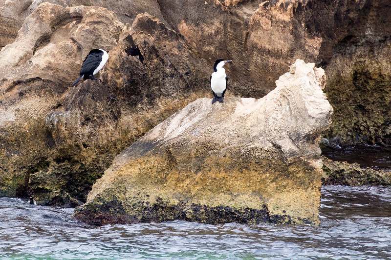 Two Pied Cormorants on another weathered rock.